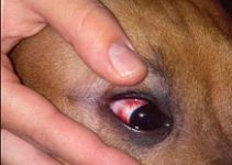 Red Eye in Dogs – Causes, Symptoms, Cure, Remedies, Treatment of Cats and Dogs with Red Eyes